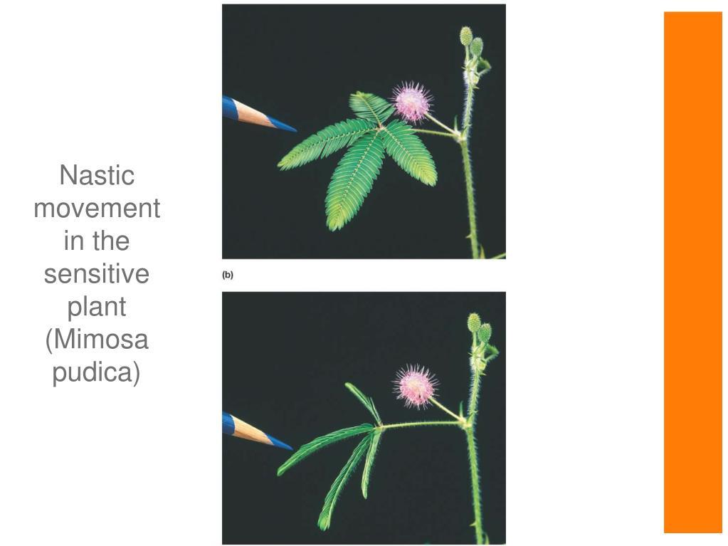 Nastic movement in the sensitive plant (Mimosa pudica)