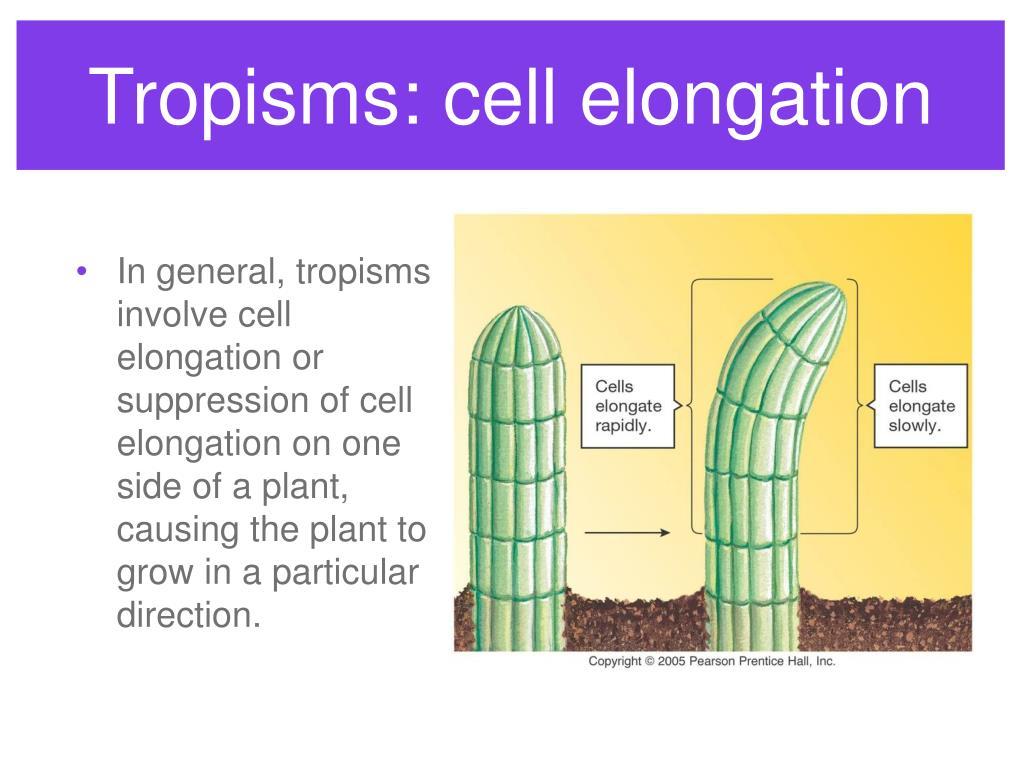 Tropisms: cell elongation