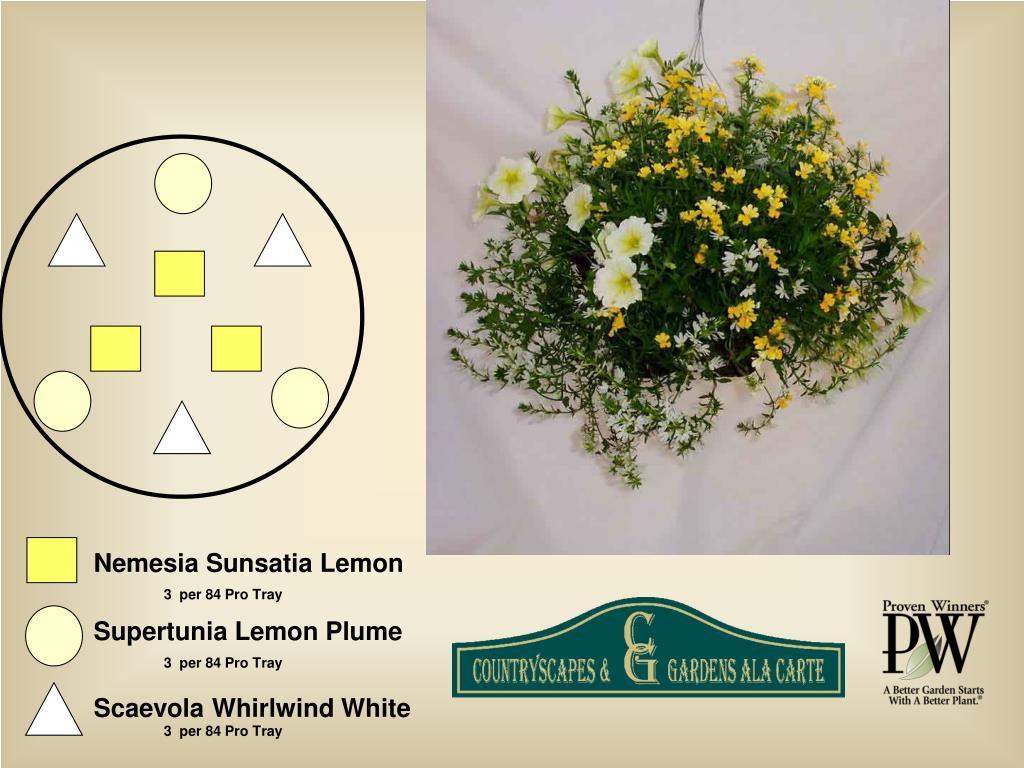 Nemesia Sunsatia Lemon