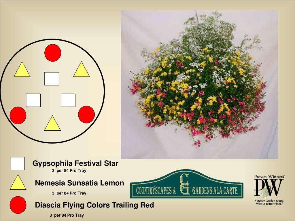 Gypsophila Festival Star