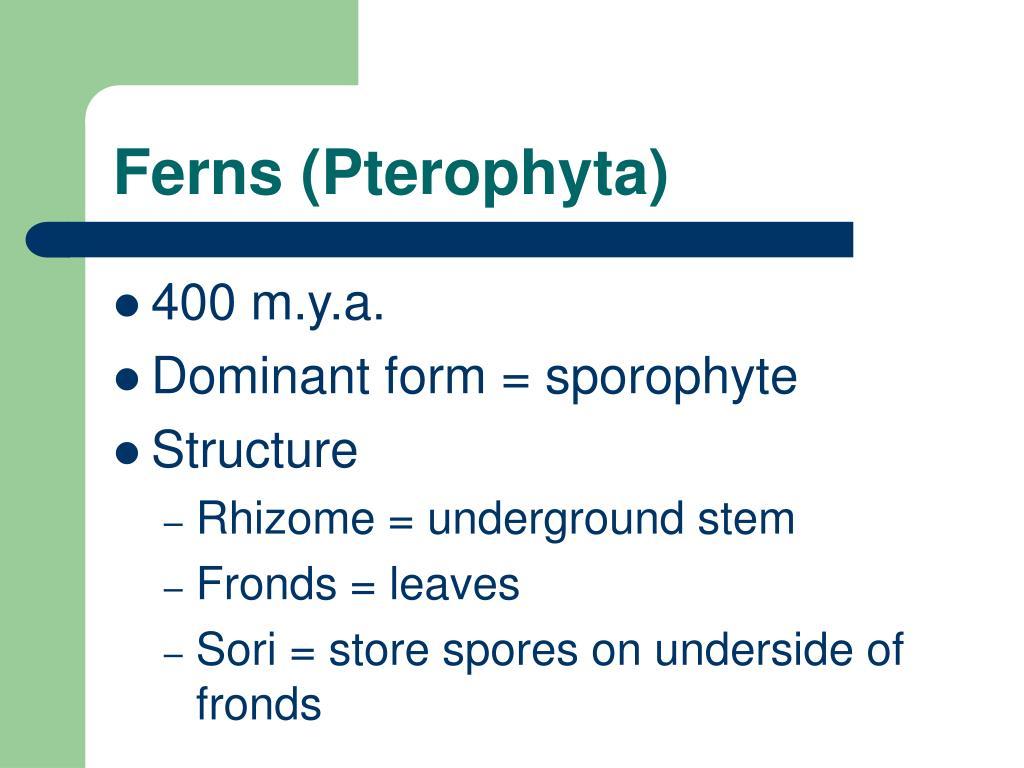 Ferns (Pterophyta)
