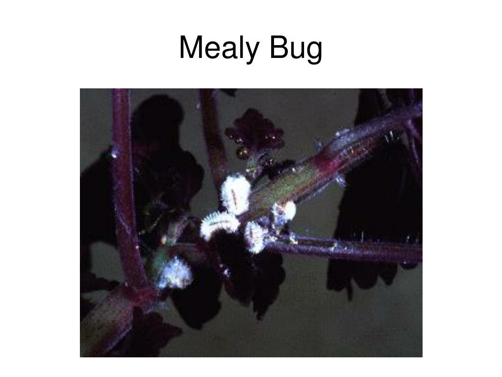 Mealy Bug