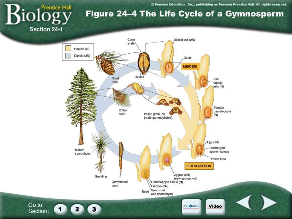 Figure 24–4 The Life Cycle of a Gymnosperm