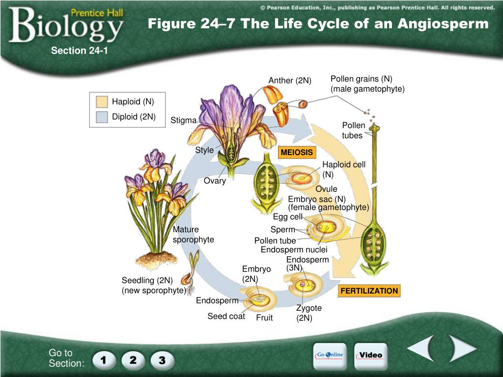 Figure 24–7 The Life Cycle of an Angiosperm