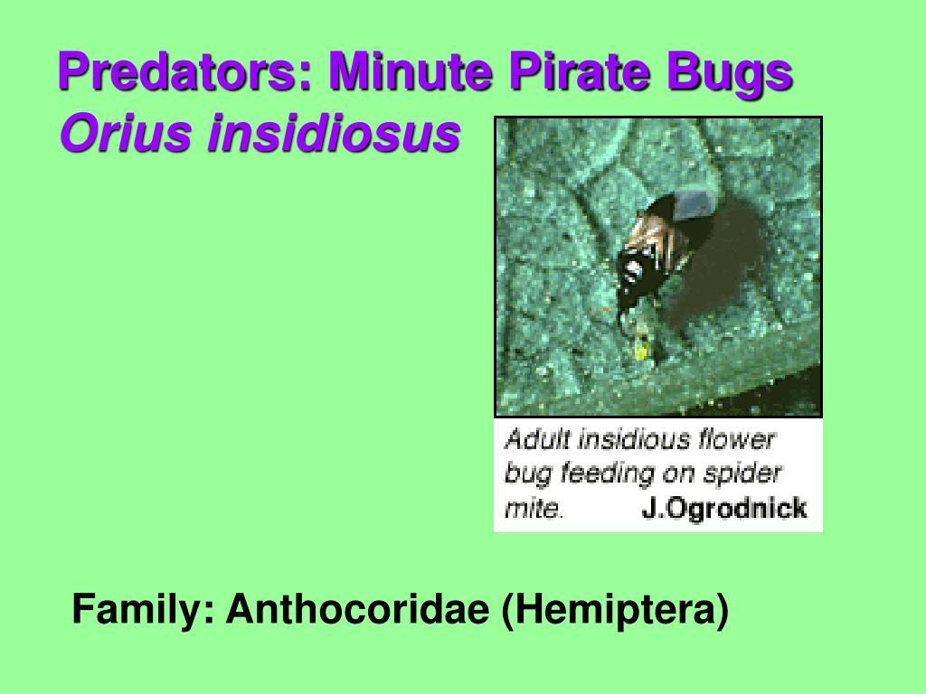 Family: Anthocoridae (Hemiptera)