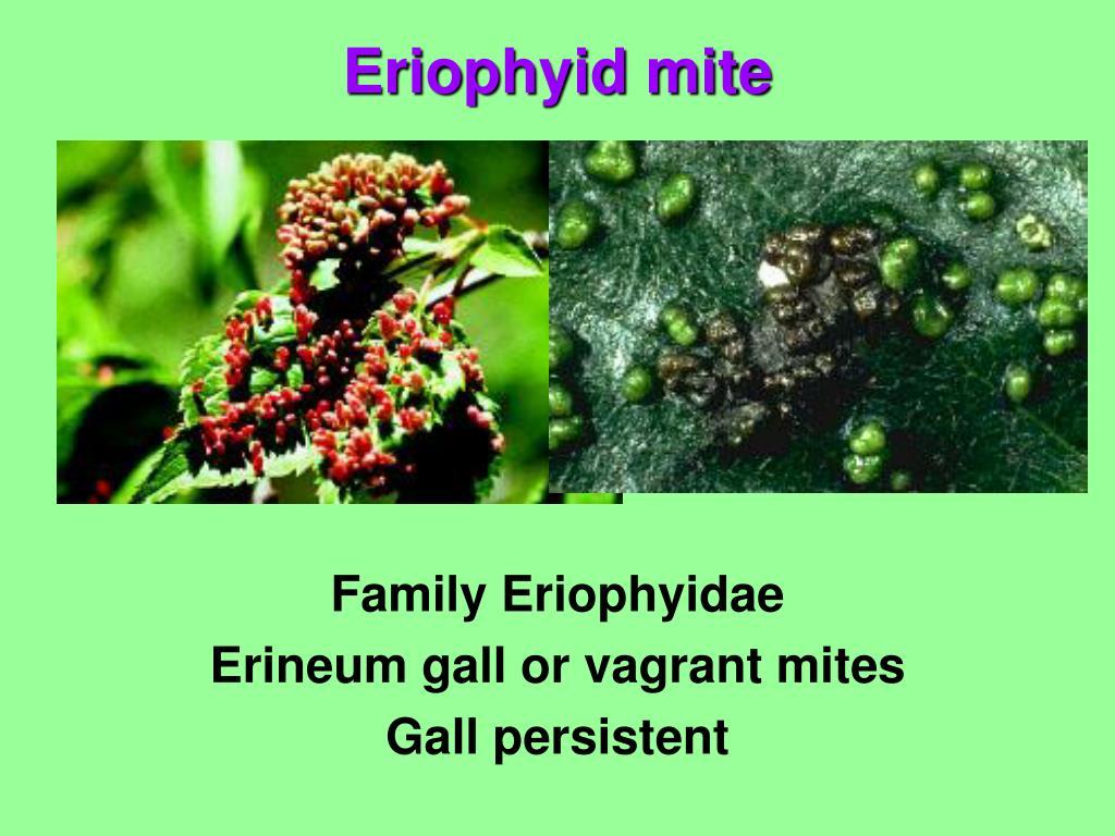 Family Eriophyidae