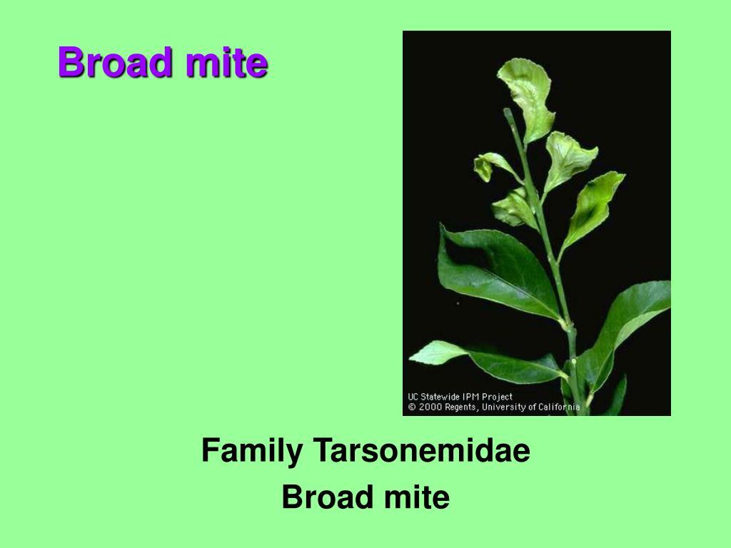 Family Tarsonemidae