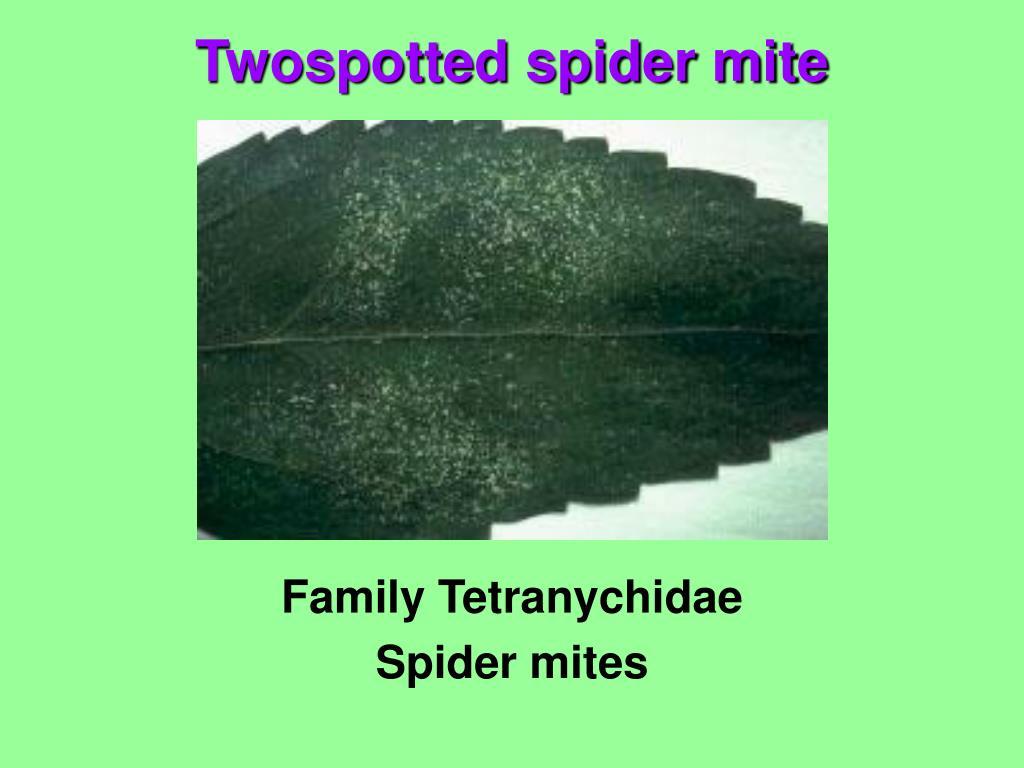 Family Tetranychidae