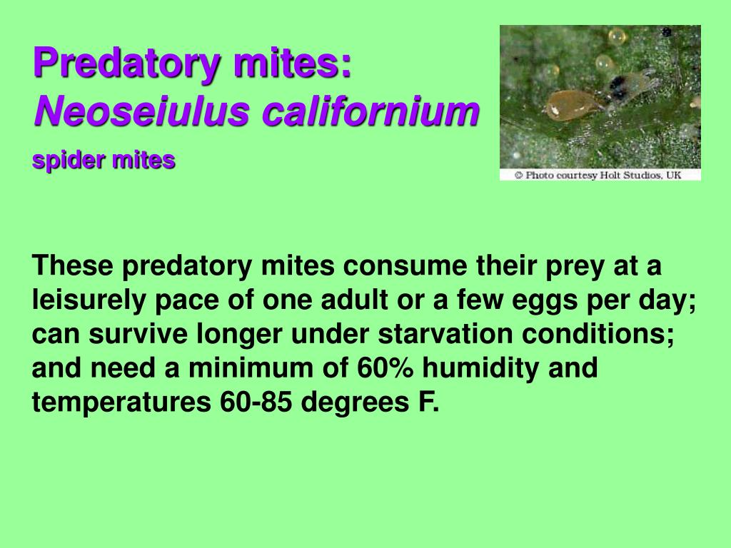 These predatory mites consume their prey at a leisurely pace of one adult or a few eggs per day; can survive longer under starvation conditions; and need a minimum of 60% humidity and temperatures 60-85 degrees F.