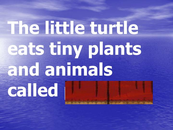 The little turtle eats tiny plants and animals called plankton.