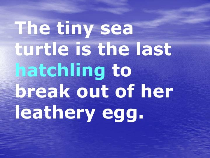 The tiny sea turtle is the last