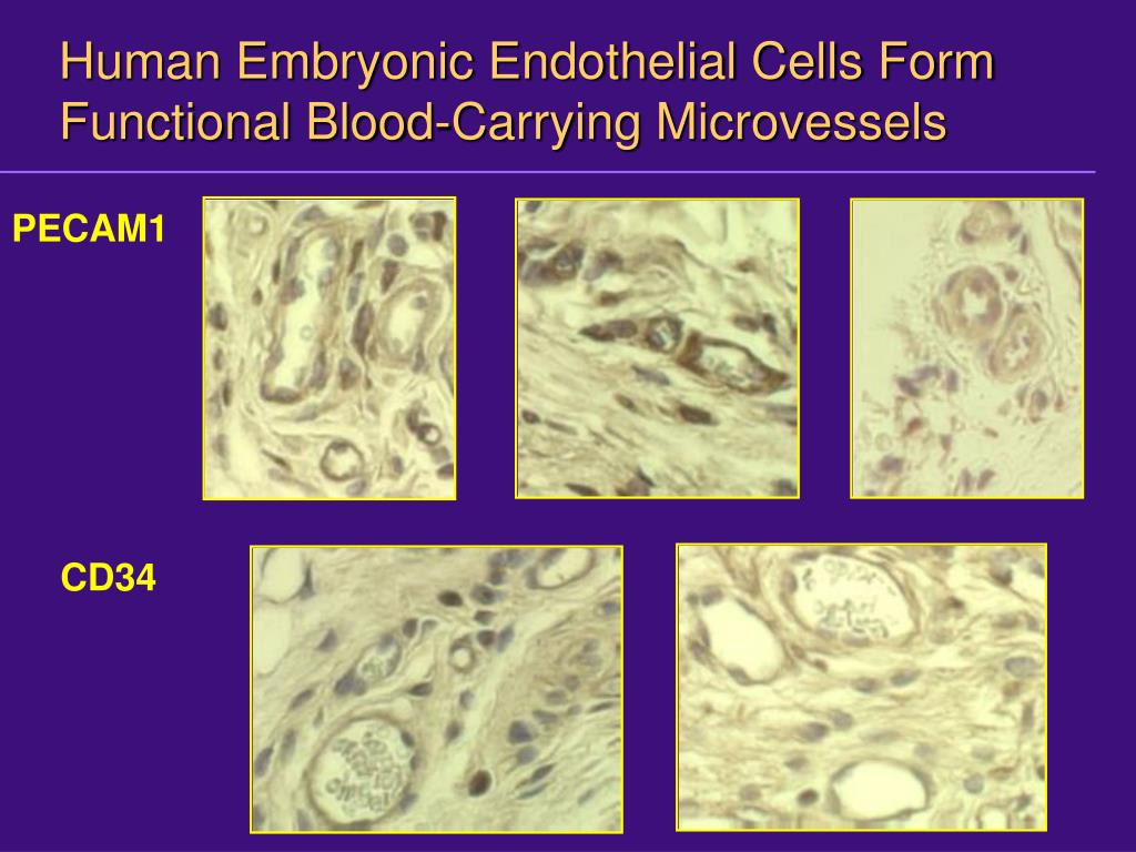 Human Embryonic Endothelial Cells Form Functional Blood-Carrying Microvessels
