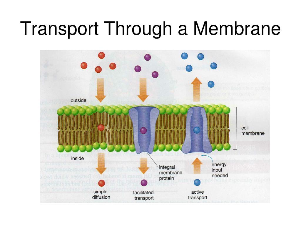 Transport Through a Membrane