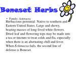 boneset herbs