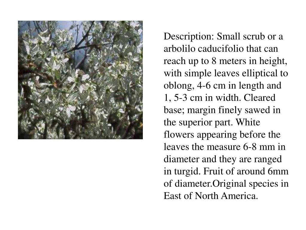 Description: Small scrub or a arbolilo caducifolio that can reach up to 8 meters in height, with simple leaves elliptical to oblong, 4-6 cm in length and 1, 5-3 cm in width. Cleared base; margin finely sawed in the superior part. White flowers appearing before the leaves the measure 6-8 mm in diameter and they are ranged in turgid. Fruit of around 6mm of diameter.Original species in East of North America.