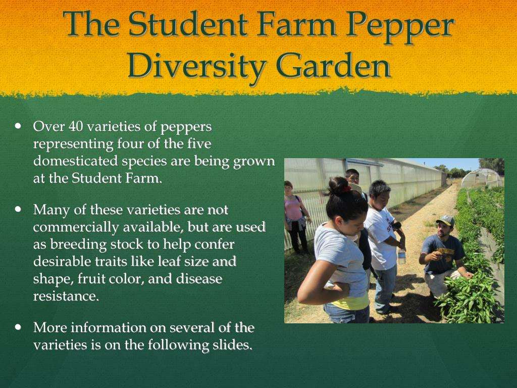 The Student Farm Pepper Diversity Garden