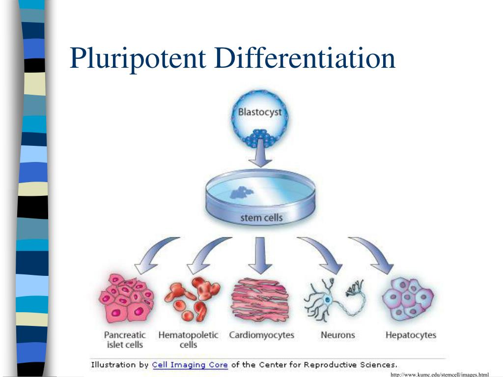 Pluripotent Differentiation