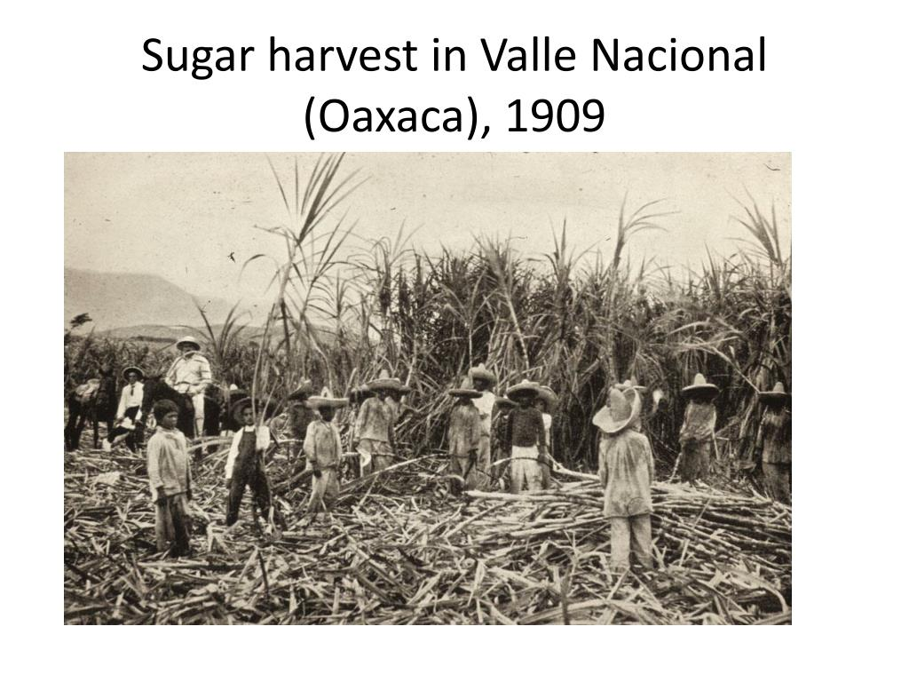 Sugar harvest in Valle