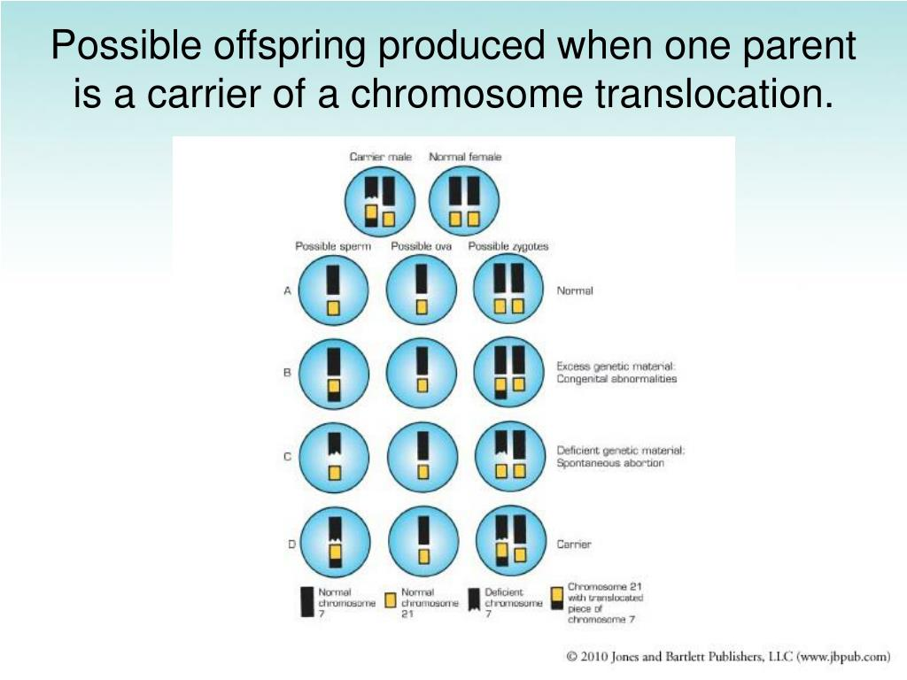 Possible offspring produced when one parent is a carrier of a chromosome translocation.