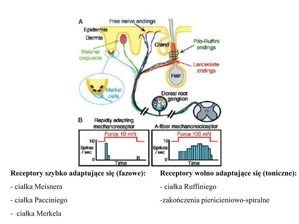 Receptory szybko adaptujące się (fazowe):