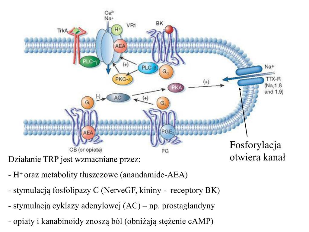 Fosforylacja otwiera kanał