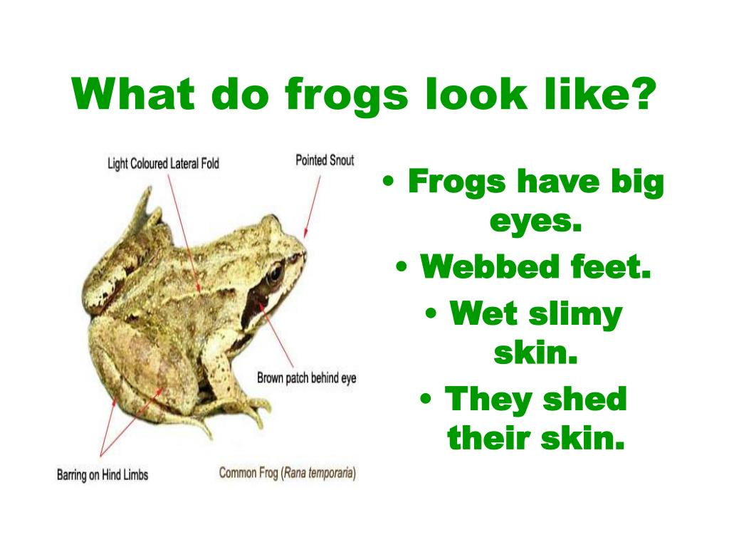 What do frogs look like?