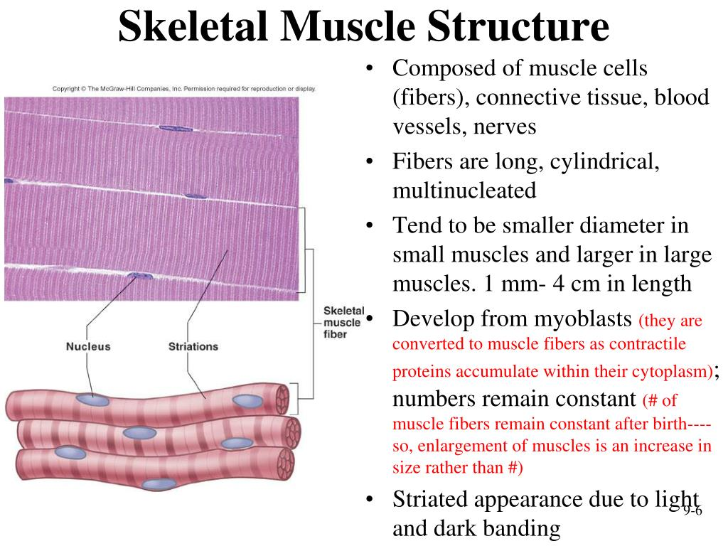 ppt - muscular system  histology and physiology powerpoint presentation