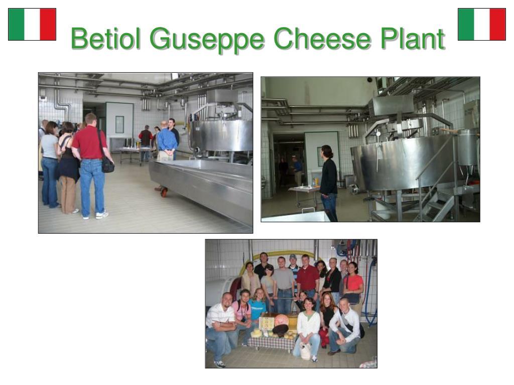 Betiol Guseppe Cheese Plant