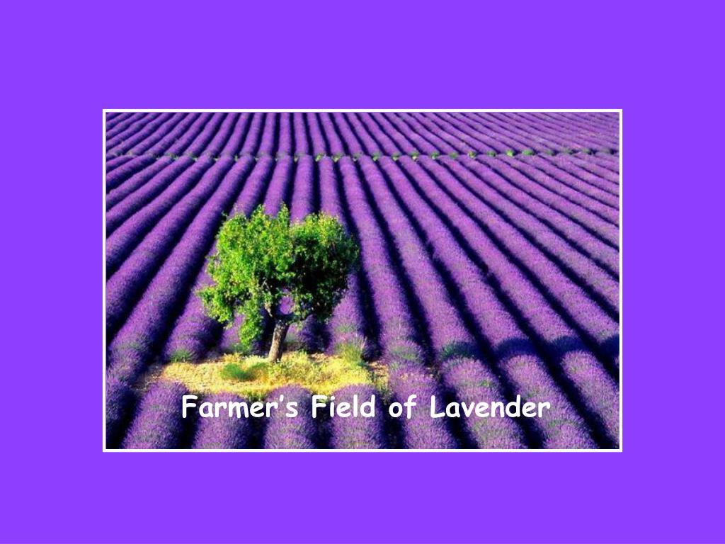 Farmer's Field of Lavender