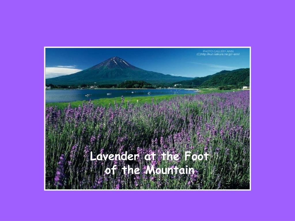 Lavender at the Foot