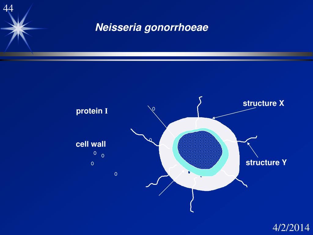Neisseria Gonorrhoeae Diagram
