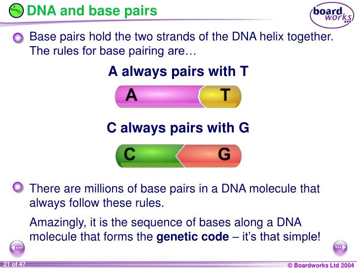 DNA and base pairs