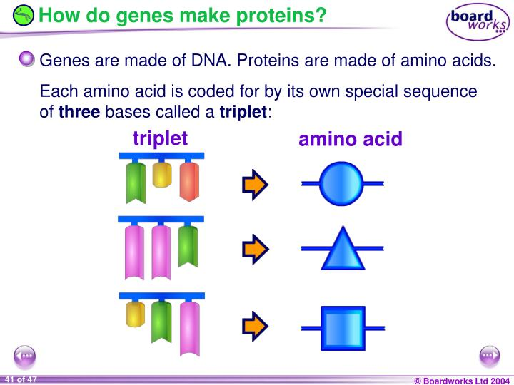 How do genes make proteins?