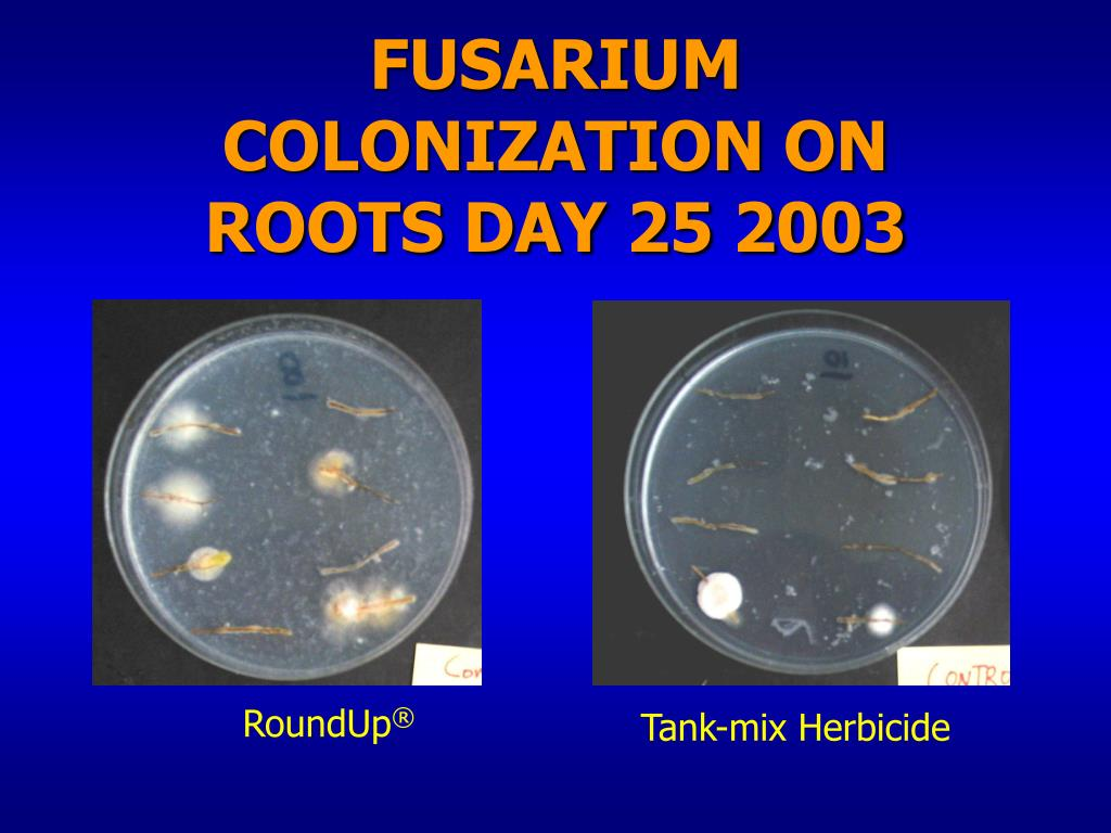 FUSARIUM COLONIZATION ON ROOTS DAY 25 2003