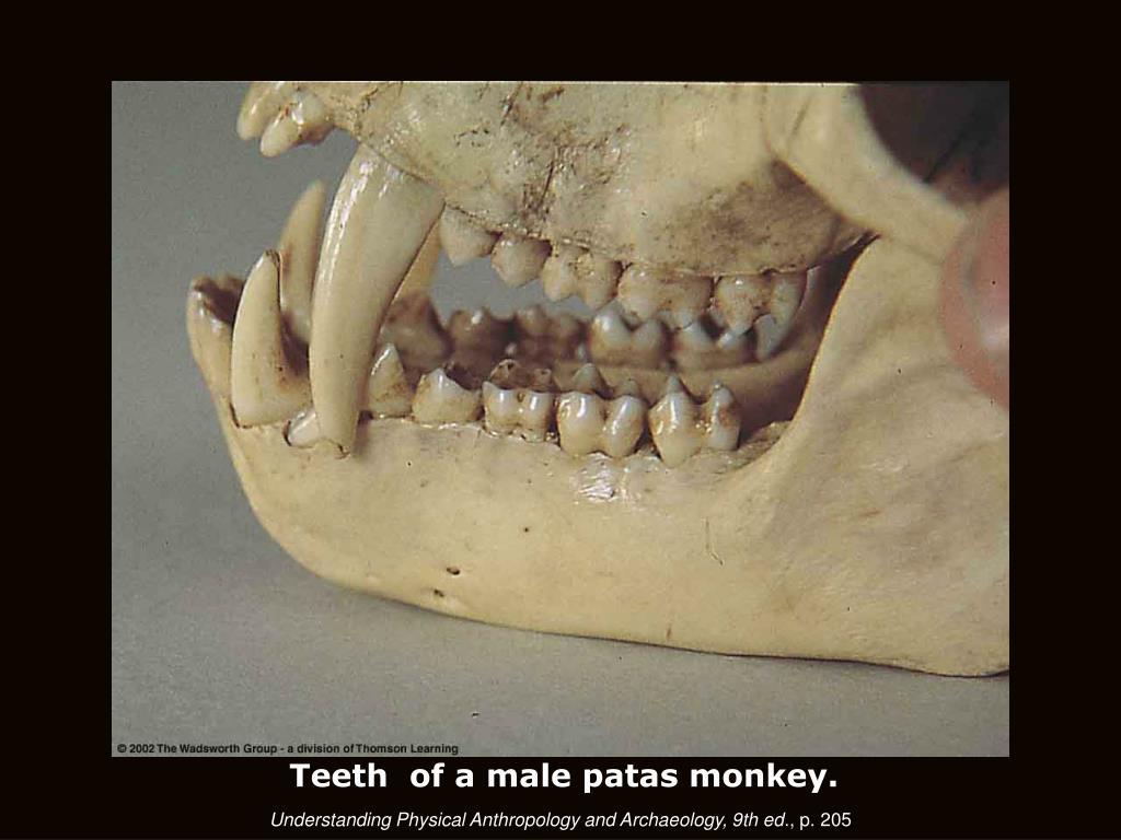 Teeth  of a male patas monkey.