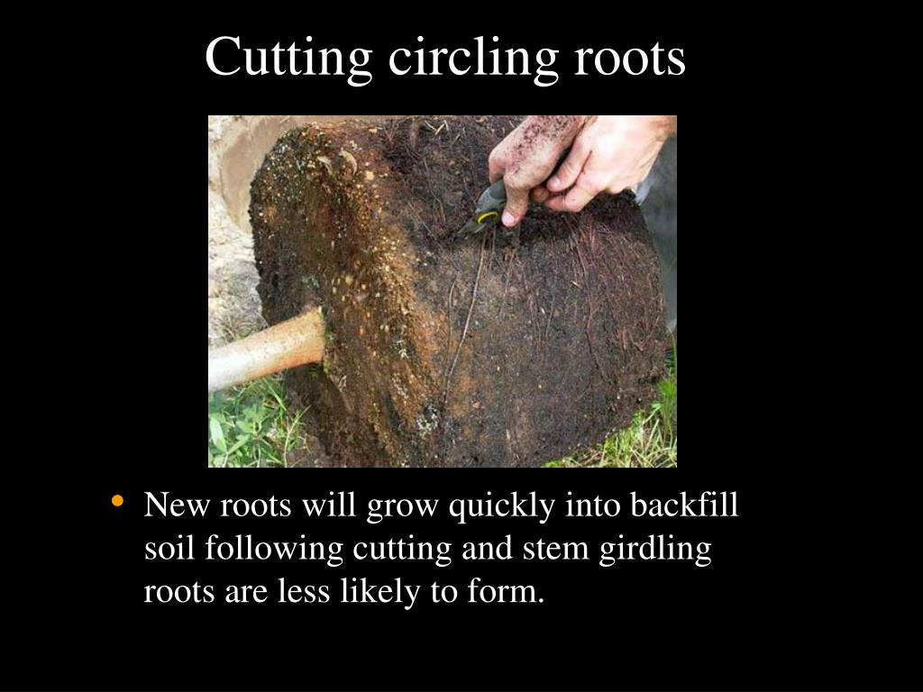 Cutting circling roots