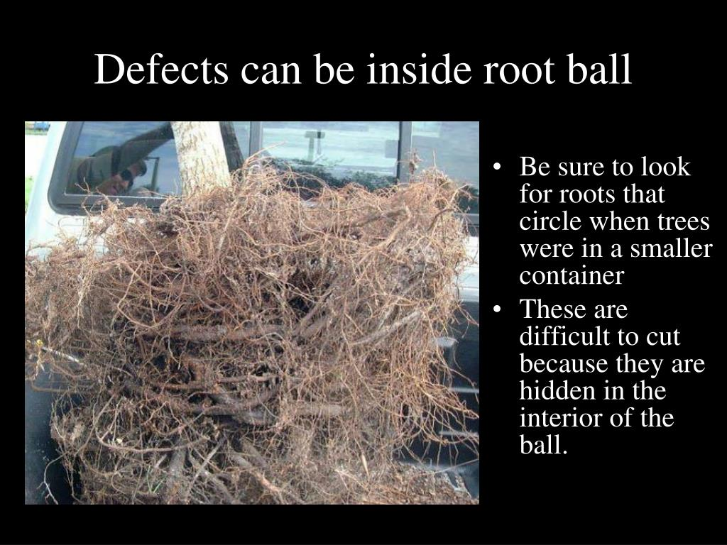 Defects can be inside root ball