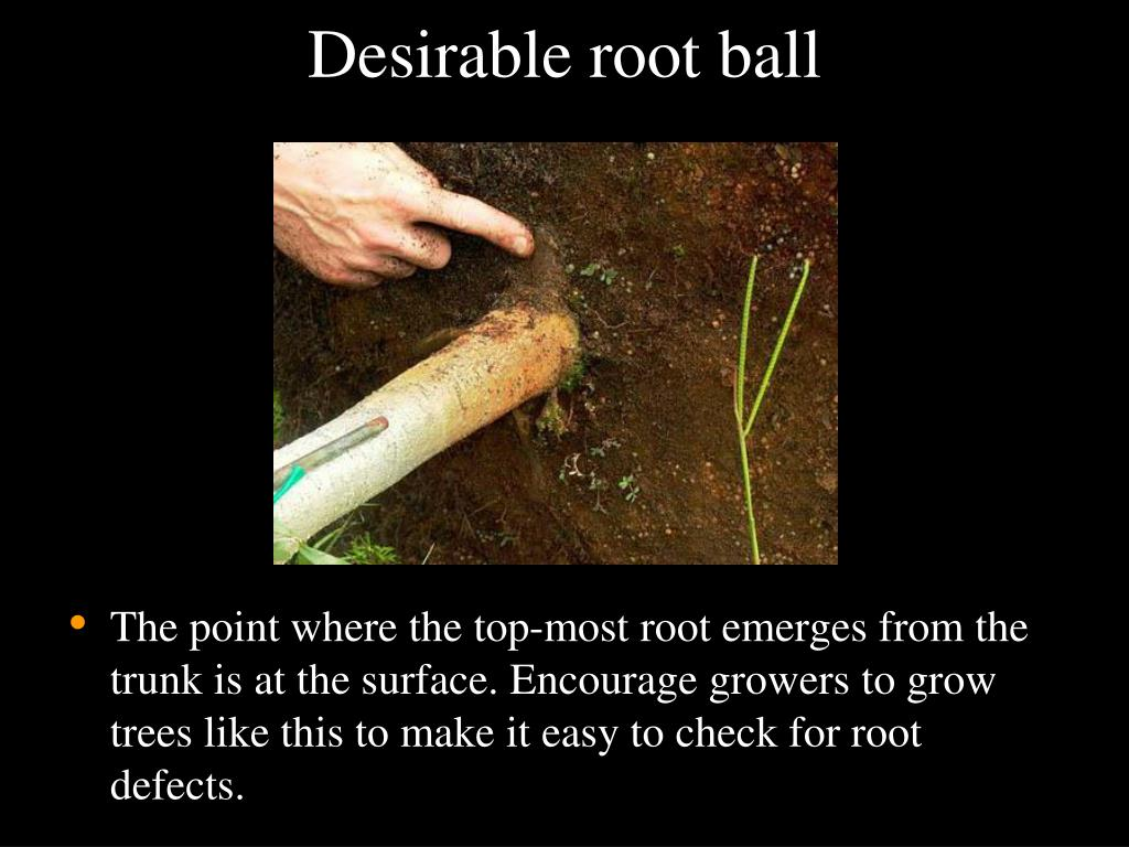 Desirable root ball
