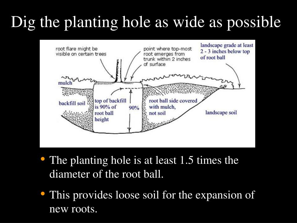 Dig the planting hole as wide as possible