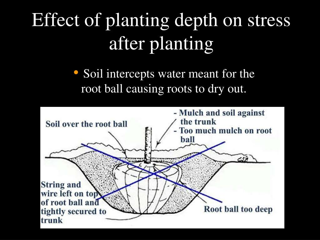 Effect of planting depth on stress after planting