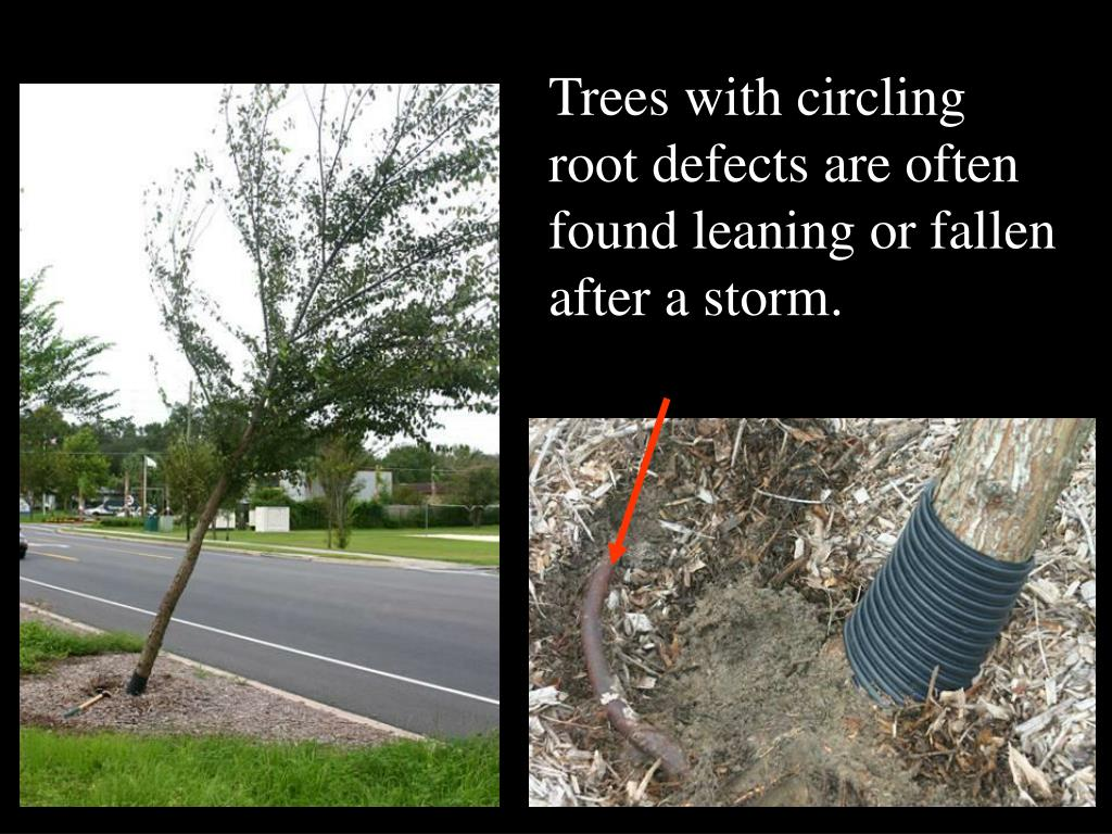 Trees with circling root defects are often found leaning or fallen after a storm.