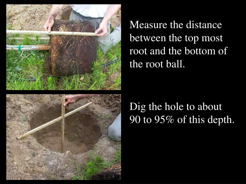 Measure the distance between the top most root and the bottom of the root ball.
