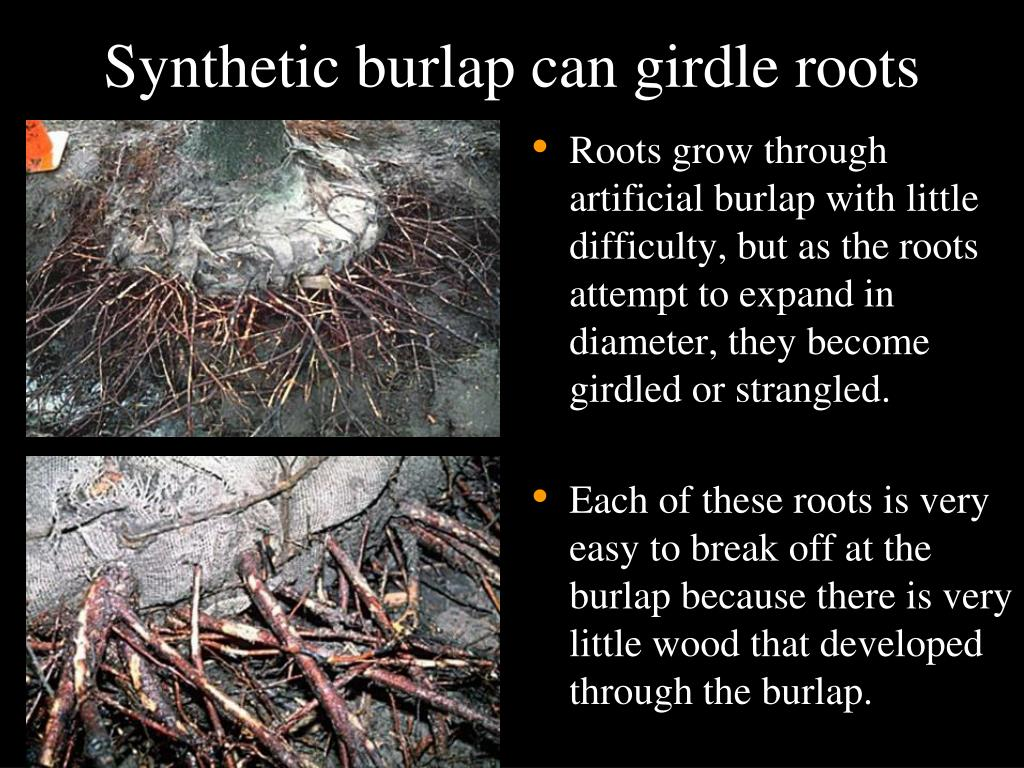 Synthetic burlap can girdle roots