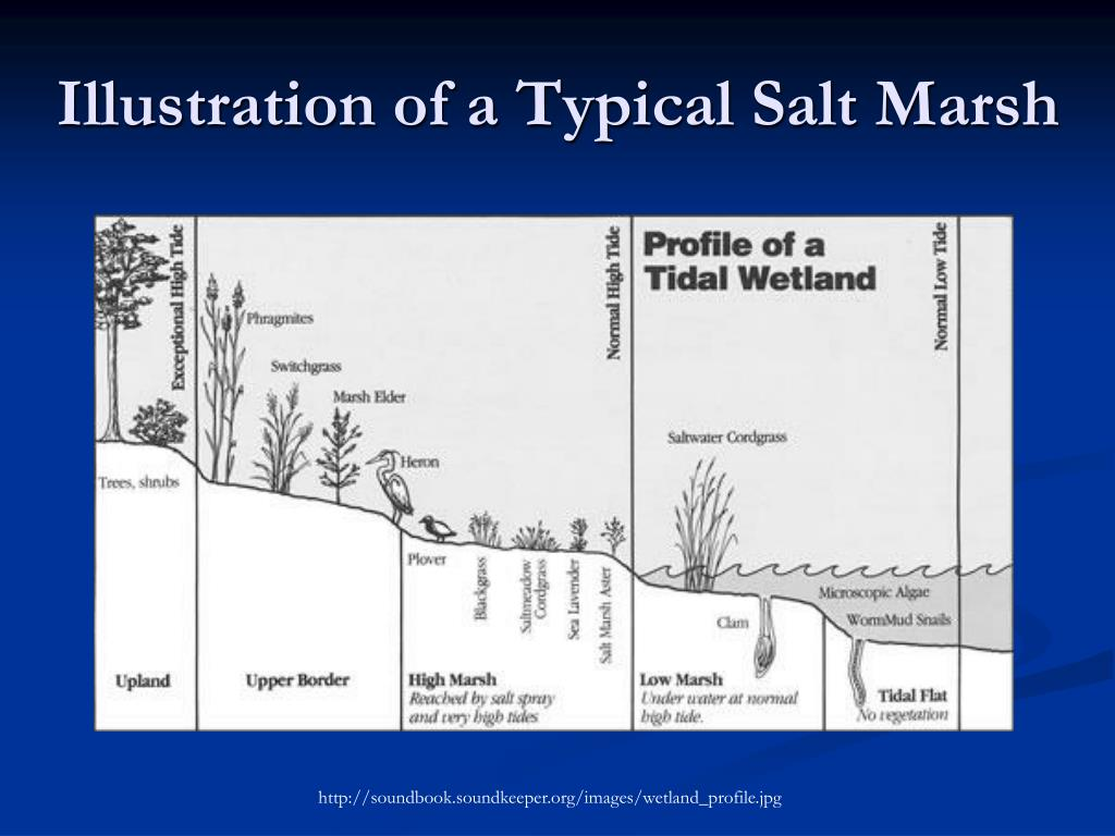 Illustration of a Typical Salt Marsh