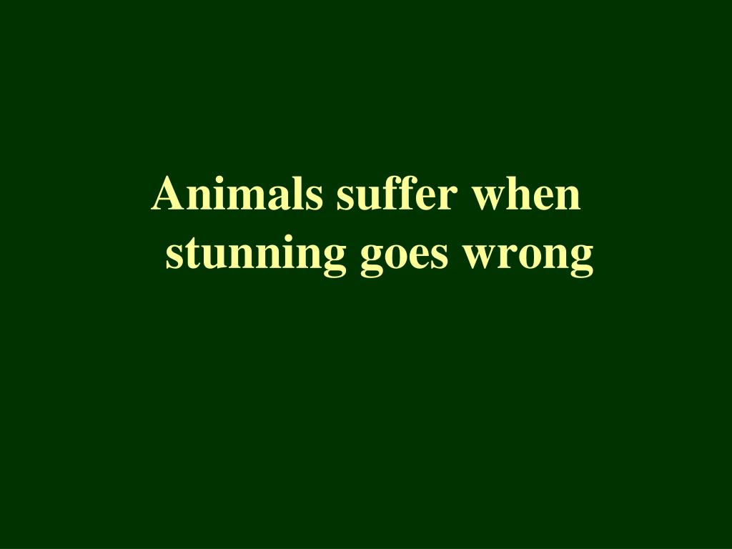 Animals suffer when stunning goes wrong