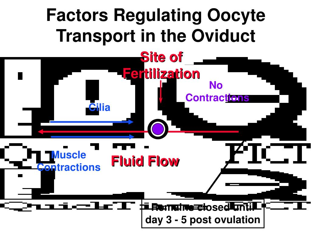 Factors Regulating Oocyte Transport in the Oviduct