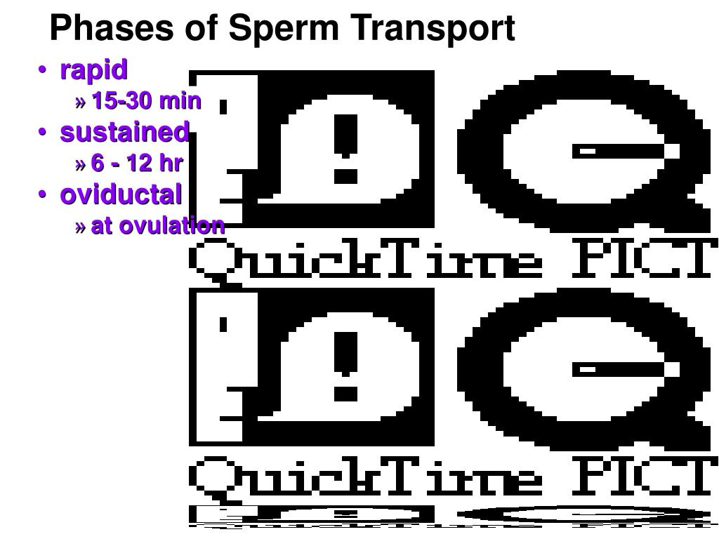 Phases of Sperm Transport