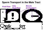 sperm transport in the male tract