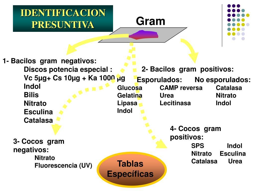 2- Bacilos  gram  positivos: