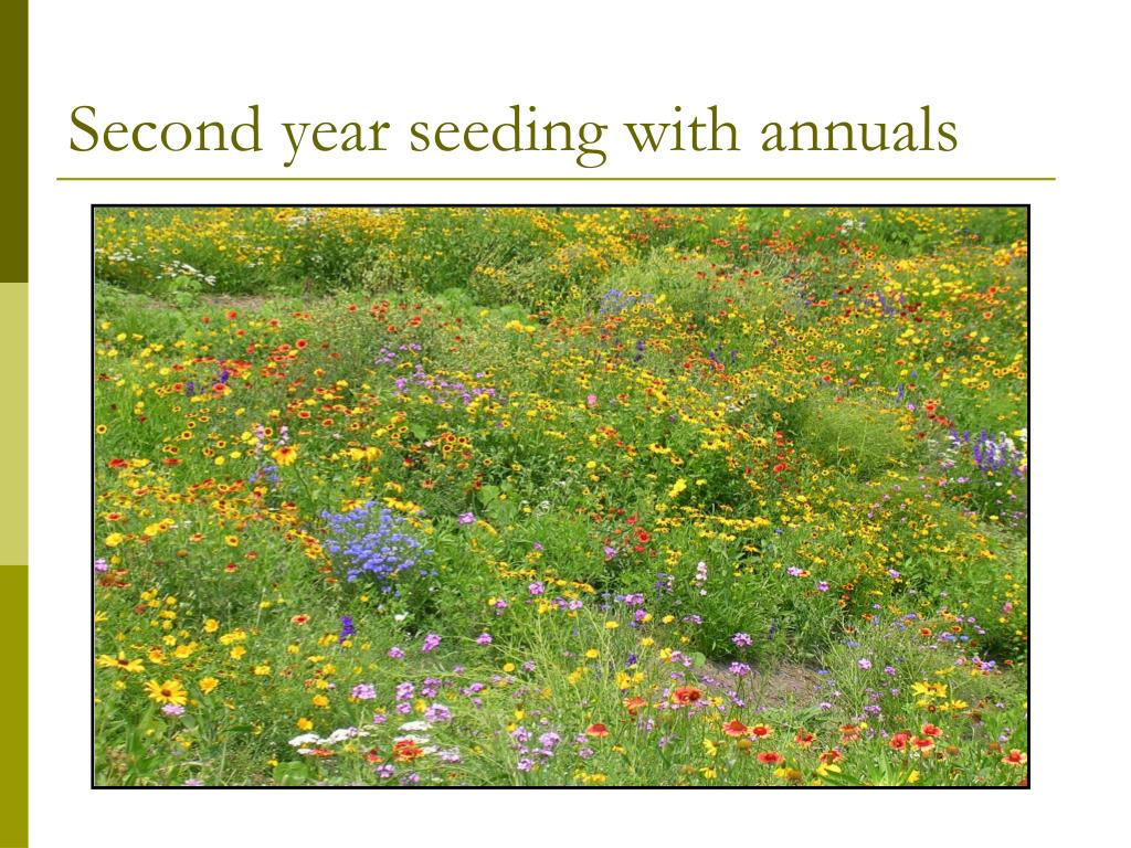 Second year seeding with annuals